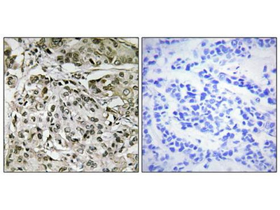 TAF1 antibody