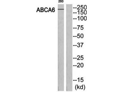 ABCA6 antibody