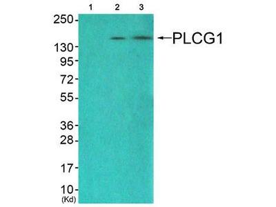 PLCG1 antibody