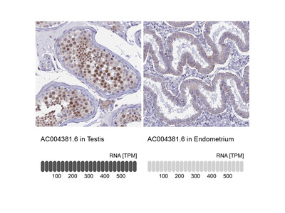 Anti-AC004381.6 Antibody