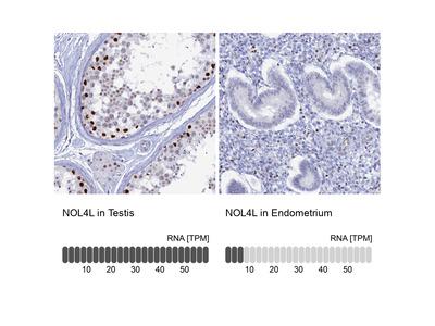 Anti-NOL4L Antibody