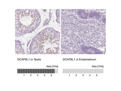 Anti-DCAF8L1 Antibody