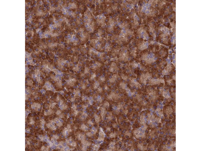 Anti-EXOC3L4 Antibody