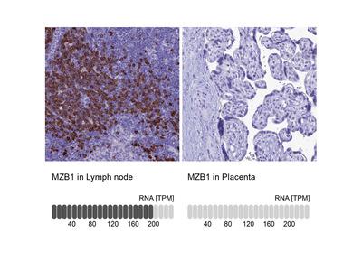 Anti-MZB1 Antibody