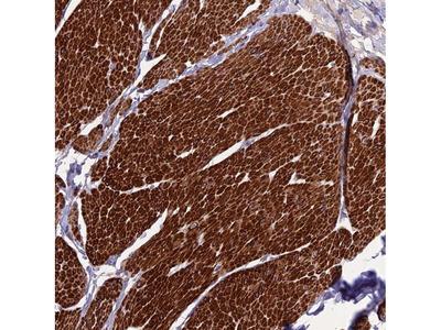 Anti-CLUH Antibody