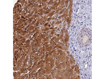 Anti-FZR1 Antibody