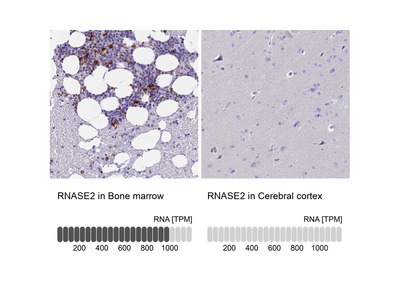 Anti-RNASE2 Antibody