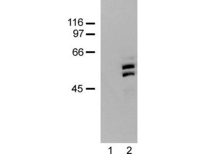 p66 / SHC Antibody