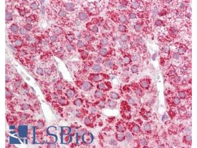 COX17 Polyclonal Antibody