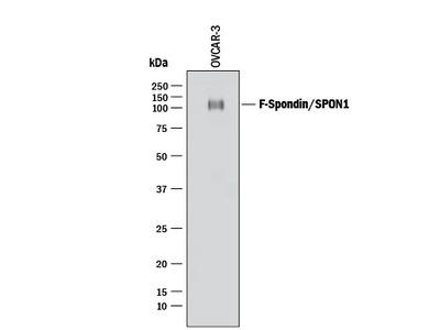 Human F-Spondin / SPON1 Antibody