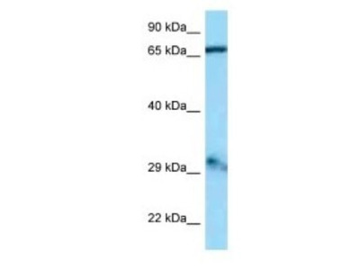 GFM1 Antibody