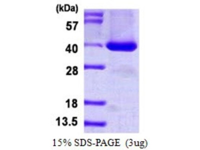 BRDG1 / STAP-1 Protein