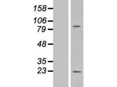 MS4A6A Overexpression Lysate