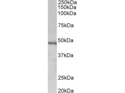 Chitotriosidase/CHIT1 Antibody