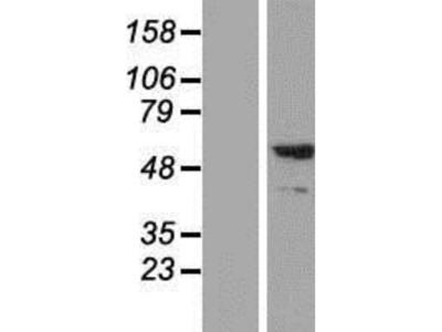 Synaptotagmin 2 Overexpression Lysate