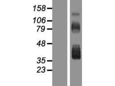 Follistatin Overexpression Lysate
