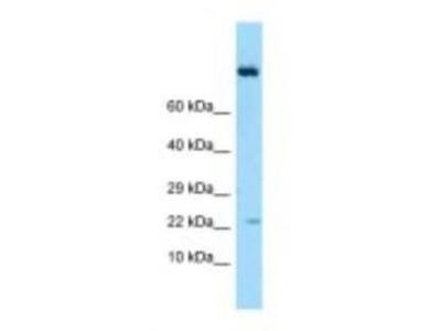 IL-19 Antibody