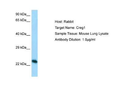 Rabbit Polyclonal CREG Antibody