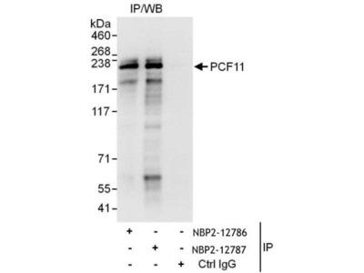 PCF11 Antibody