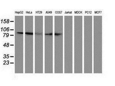 Mouse Monoclonal Gephyrin / GPHN Antibody