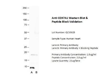 COX7A1 Antibody