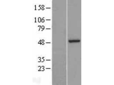 ASZ1 Overexpression Lysate