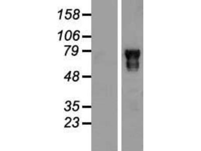 POU6F2 Overexpression Lysate