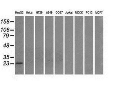 Mouse Monoclonal Gankyrin Antibody