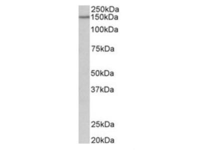 Protocadherin-17 Antibody