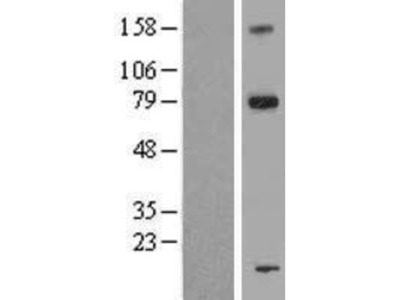 FAM161A Overexpression Lysate