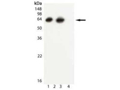 Mouse Monoclonal GroEL Antibody