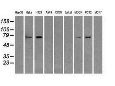 Mouse Monoclonal RALBP1 Antibody