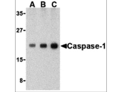 Caspase-1 Antibody