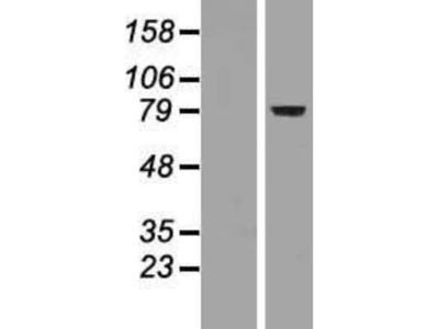 FoxP2 Overexpression Lysate