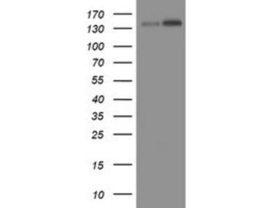 TAF2 Antibody (OTI2A5)