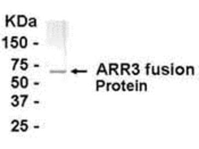 ARR3 Antibody