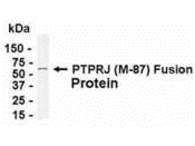 PTPRJ Antibody