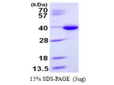 Syntaxin 3 Recombinant Protein
