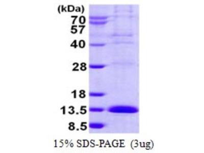 LSM2 Protein