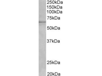 Cytochrome P450 1A2 Antibody