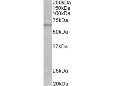 Goat Polyclonal Cytochrome P450 1A2 Antibody