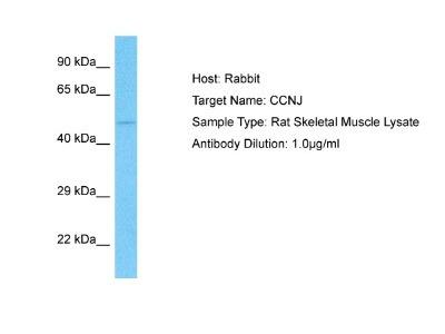 Cyclin J Antibody