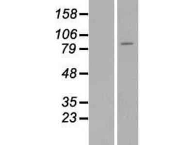 Matriptase / ST14 Overexpression Lysate