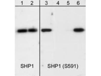 SHP1 (Ser-591), phospho-specific Antibody