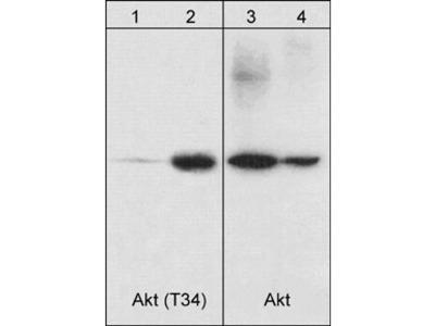 Akt (Thr-34), phospho-specific Antibody