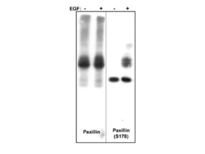 Paxillin (Ser-178), phospho-specific Antibody