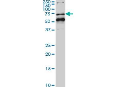 Immunohistochemistry-Paraffin