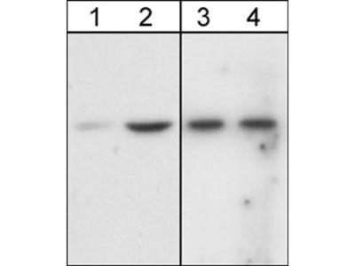 Akt (Ser-473), phospho-specific Antibody