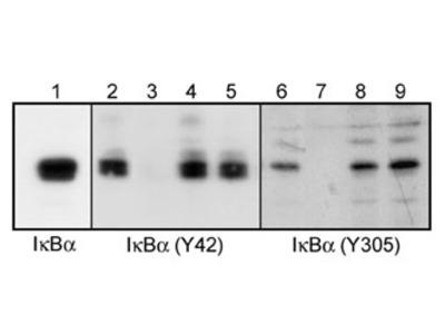 IκBα (Tyr-305), phospho-specific Antibody