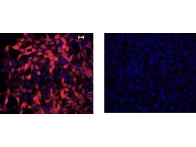 IDO1 Antibody